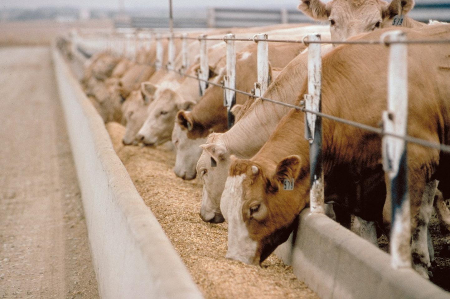 allevamento intensivo foraggio mucche