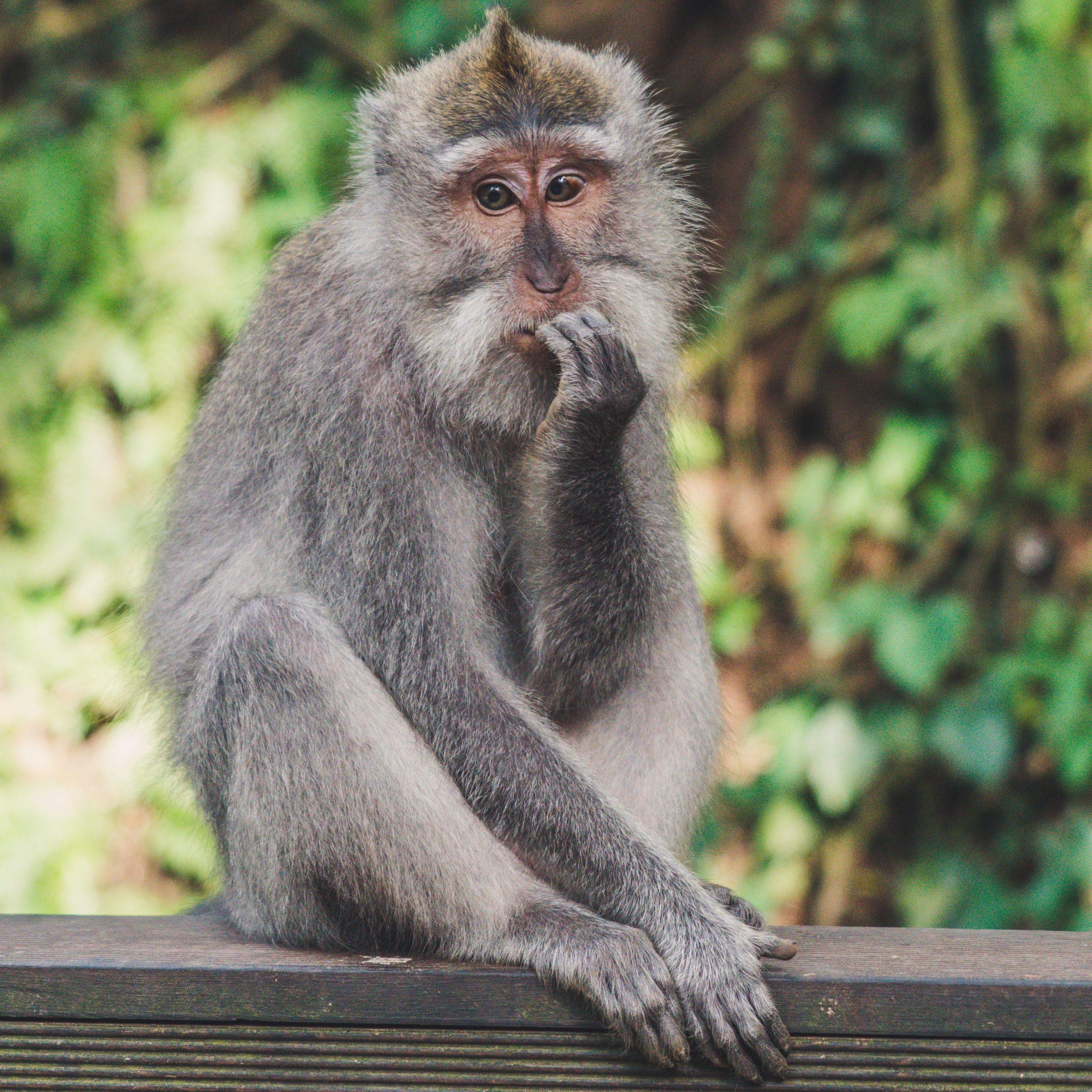 Multipotenziale scimmia pensa cosa farai da grande