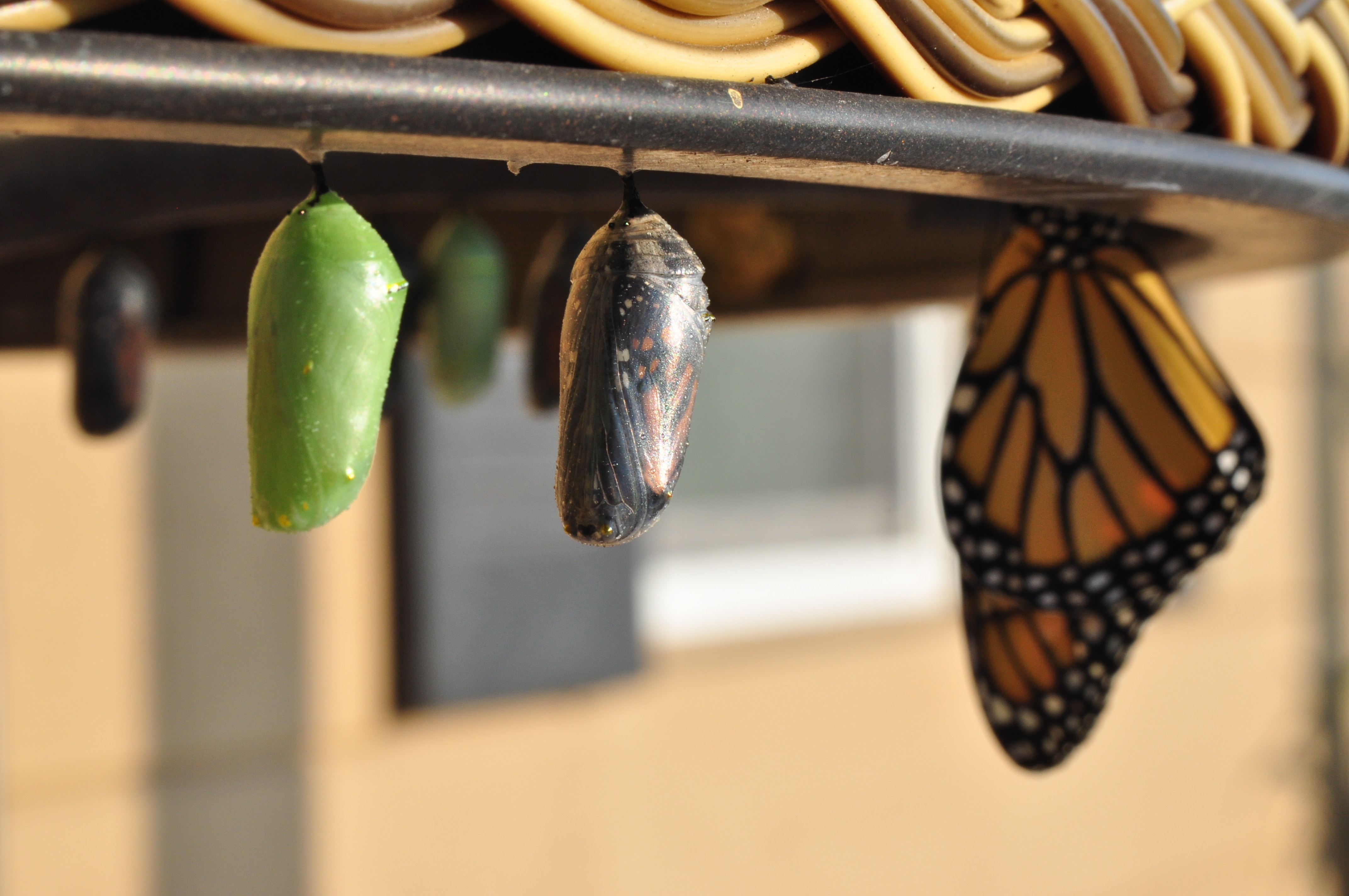 Crescere attraverso l'esempio farfalle