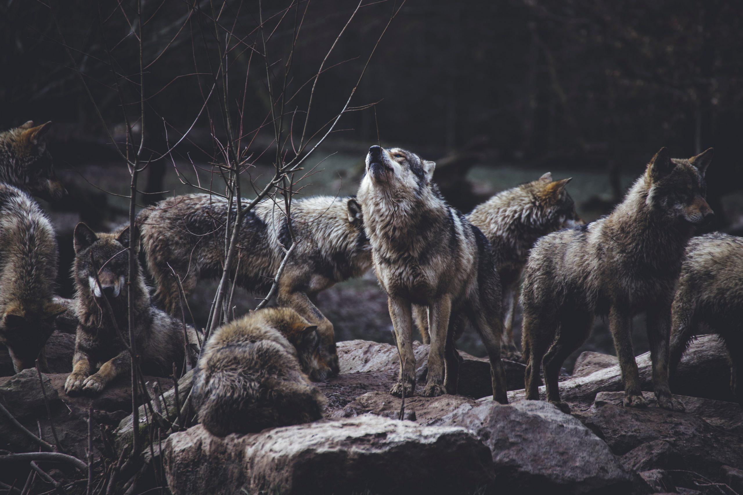 Nutrirsi di bellezza lupi